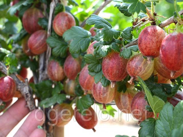 Крыжовник крупноплодный Пакс - розовый, крупный