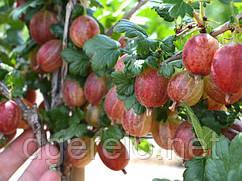 Крыжовник крупноплодный Пакс (розовый)