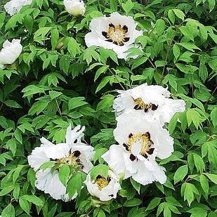 Саженцы Пиона Древовидного (Paeonia)
