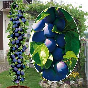 Саджанці Аличі колоновидної Синя - середнього терміну, крупноплідна, врожайна