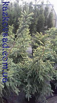 Ель  черная  Aurea ( Горшок С 15. Высота 1.2 м)