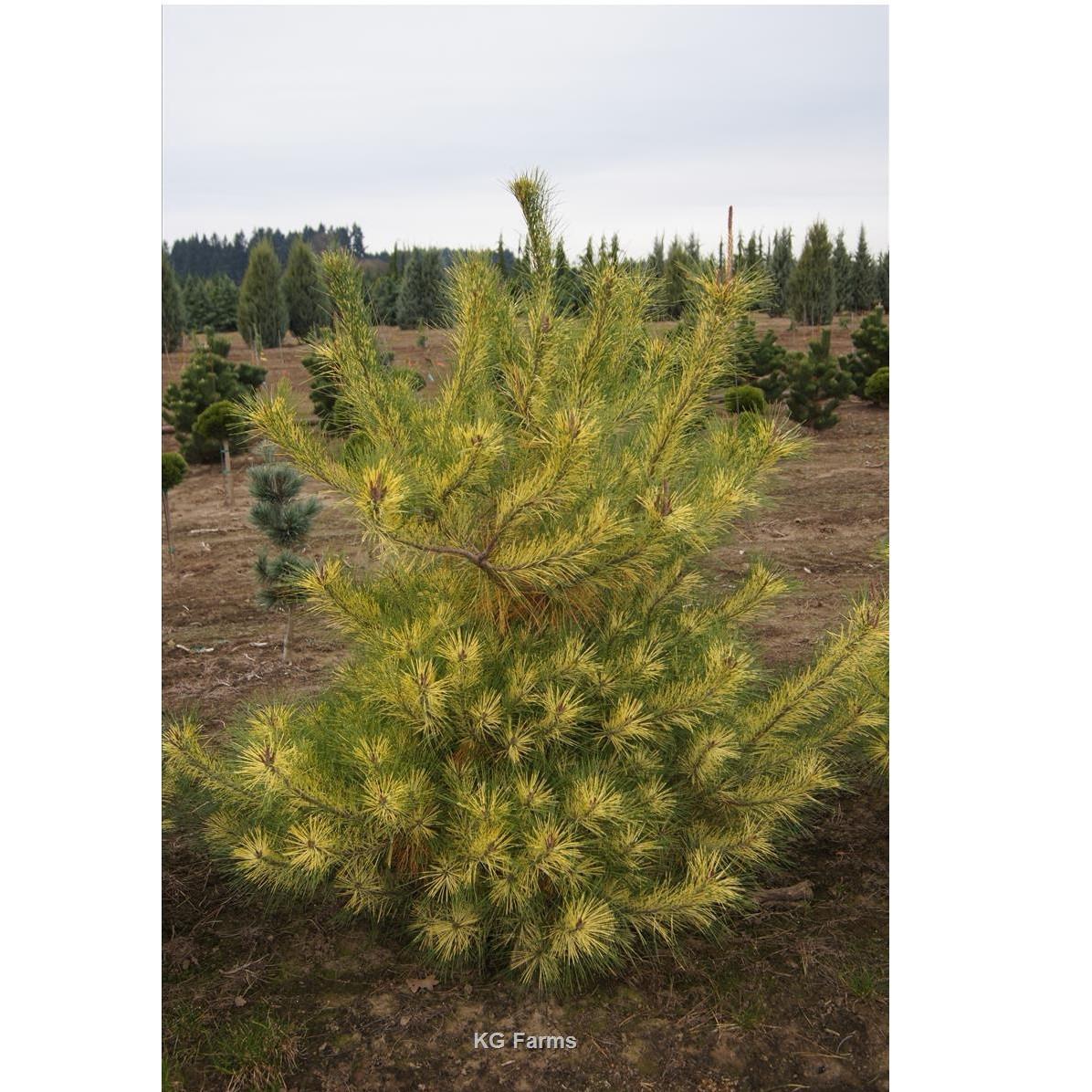 Pinus densiflora Golden Ghost