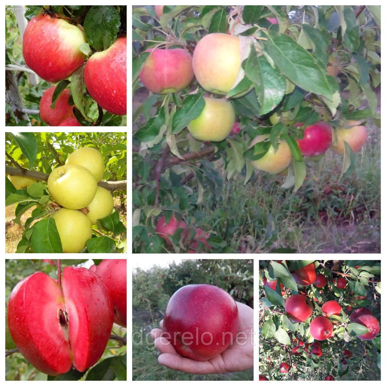 Яблоня Колесо фортуны. 2х летние саженцы яблонь