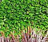 Семена микрозелени Капуста Микс, 10г
