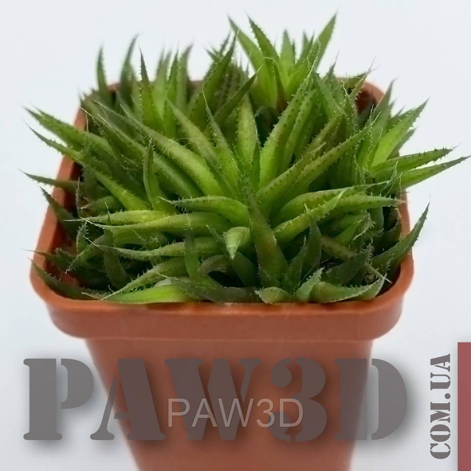 Haworthia angustifolia v. liliputana Хавортия