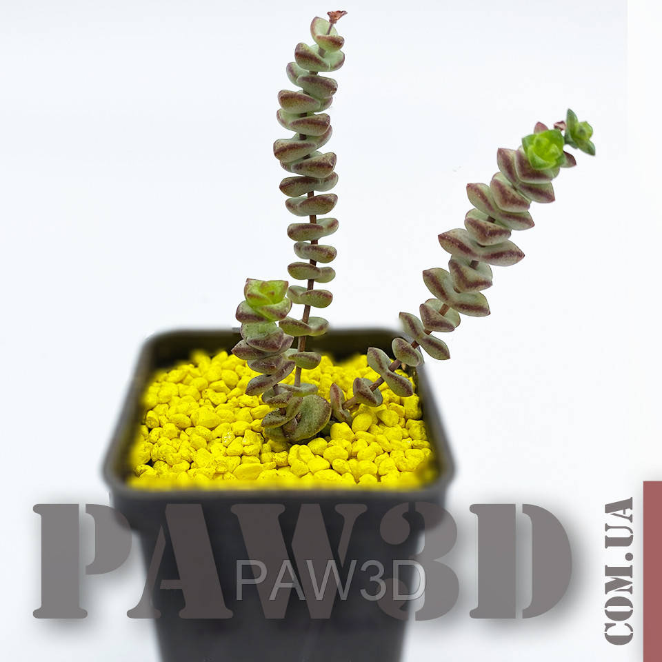 Crassula nealiana