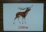 """Дидактические карточки """"Животные наших лесов"""", фото 4"""