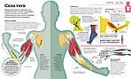 Как работает тело, фото 3