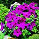 Петуния Лимбо F1, фиолетовая, 100 гран Садиба Центр, фото 3