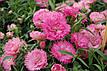 Гвоздика Грейс F1, насыщенно-розовая, 100 гран Садиба Центр, фото 3