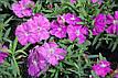 Гвоздика Диана F1, блуберри (темно-фиолетовая), 100 гран Садиба Центр, фото 3