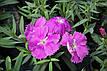 Гвоздика Диана F1, блуберри (темно-фиолетовая), 100 гран Садиба Центр, фото 4