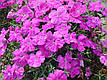 Гвоздика Диана F1, блуберри (темно-фиолетовая), 100 гран Садиба Центр, фото 5