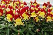 Антіррінум Снеппи F1, червоно-жовтий, 100 шт Садиба Центр, фото 3
