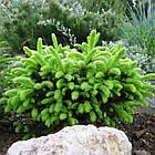 Саженцы Ели обыкновенной Пумила Нигра (Picea abies Pumila nigra), фото 2