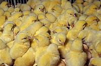 Цыплята суточные элитных мясо-яичных пород