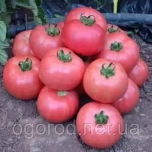 Мануса F1 семена розового томата Rijk Zwaan Голландия 100 шт