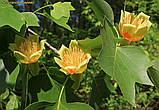 Тюльпановое дерево 2г, фото 3