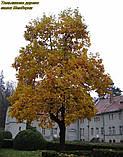 Тюльпановое дерево 2г, фото 8