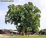 Тюльпановое дерево 2г, фото 9