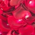 Эфирное масло розы, свойства и применение в косметологии и ароматерапии