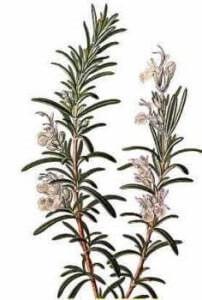 Эфирное масло розмарина, свойства и применение в косметологии и ароматерапии