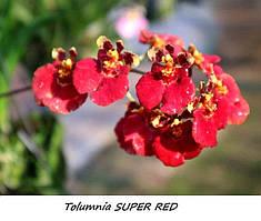 "Орхидеи. Tolumnia Super red без цветов, горшок 1.7"""