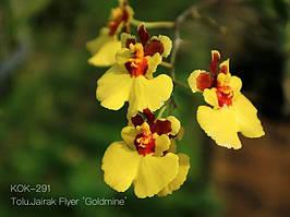"""Орхидеи. Tolumnia jairak flyer goldmin без цветов, горшок 1.7"""""""