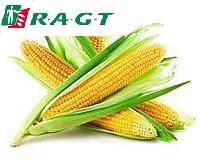 Насіння кукурудза RAGT ФІДОККСІ