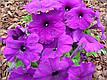 Петунія Мамбо F1, насичено-пурпуровий, 100 гран Садиба Центр, фото 3