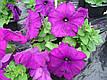 Петунія Мамбо F1, насичено-пурпуровий, 100 гран Садиба Центр, фото 4