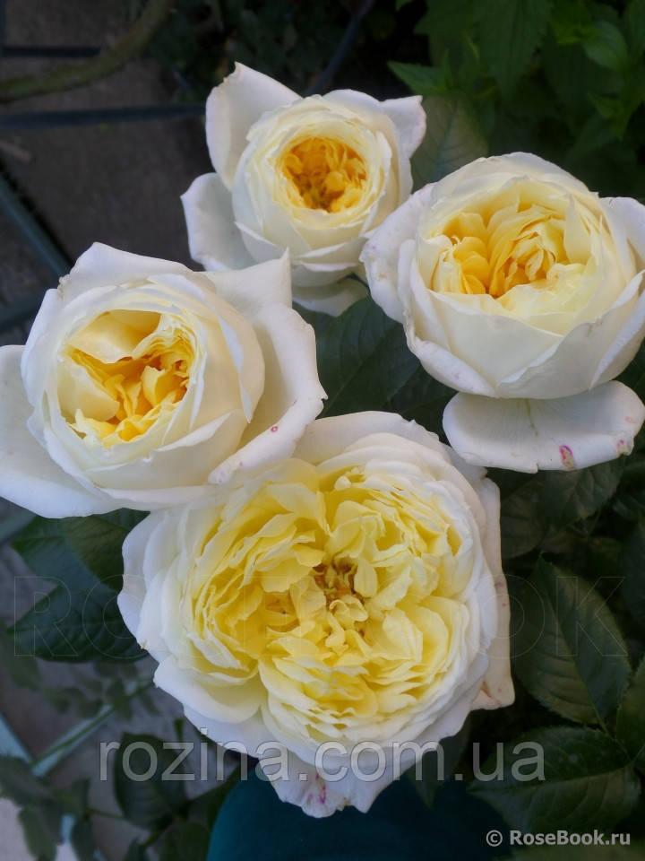 Саджанці троянди Амнесті Інтернешнл