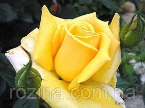 Саджанці троянди Бероліна