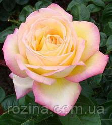 Саджанці троянди Глорія Дей