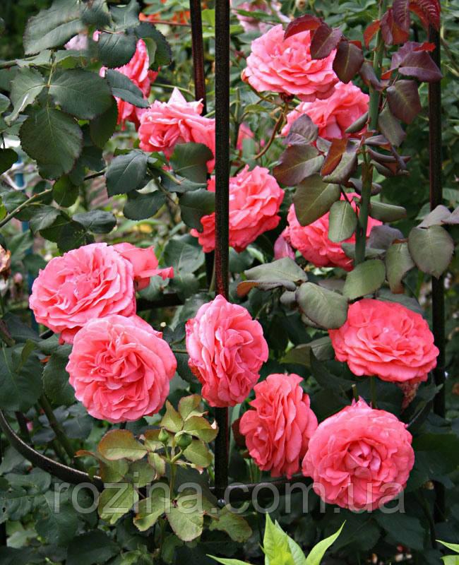 Саженцы розы Ди Ди Бриджуотер