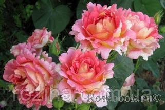 Саженцы розы Роз дэ Цистресьен