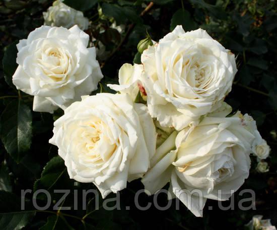 Саженцы розы Аляска
