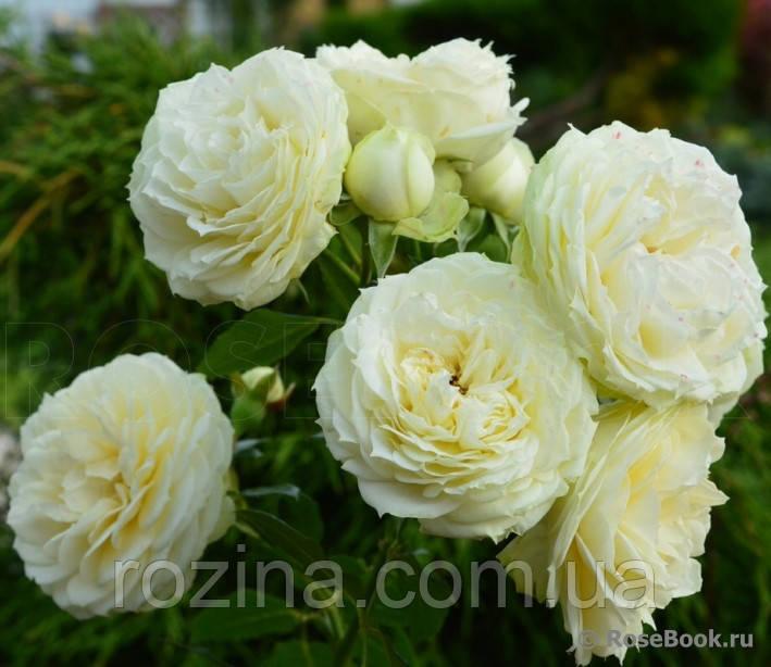 """Саджанці троянди """"Лемон Рококо"""""""