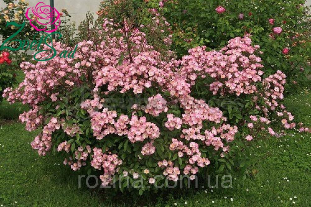Саженцы розы Альден Бизен