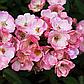 Саженцы розы Альден Бизен, фото 2