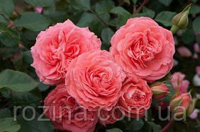 "Саджанці троянди ""Шекенборг"""