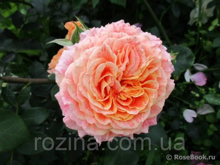 Саженцы розы Джеф Артист