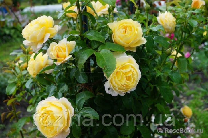 Саженцы розы Солей Вертикаль
