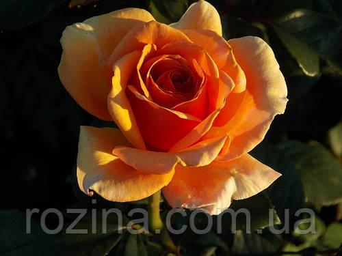 Саженцы розы Ашрам