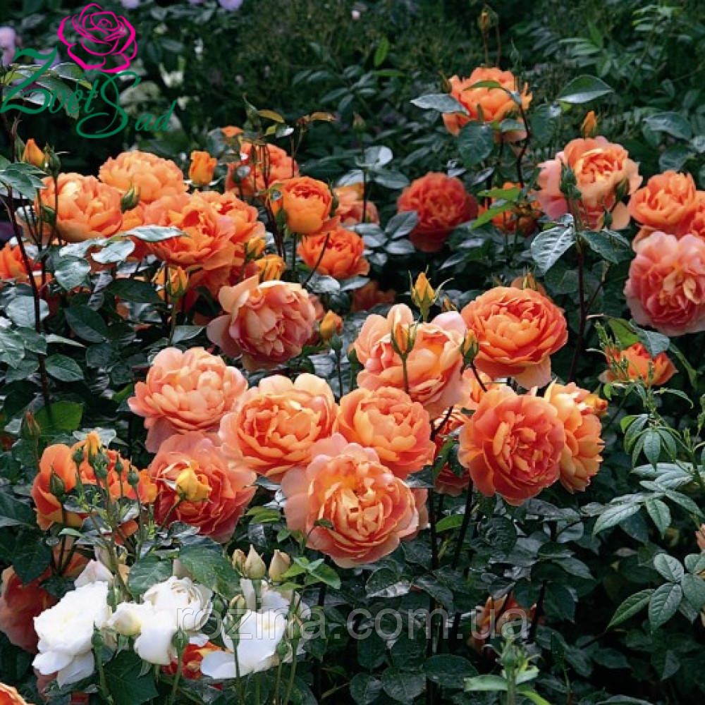 Саженцы розы  Пет Остин
