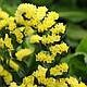 Кермек QIS, желтый, 50 шт Садиба Центр, фото 3