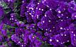 Кермек QIS пурпурный 50 шт. Садыба Центр, фото 3