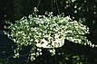 Бакопа Сноутопія біла 20 гран. Садиба Центр, фото 3