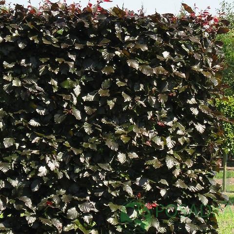 Бук лесной Atropunicea (Горшок С 2 Высота 0.5 м)