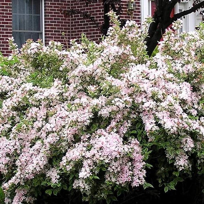 Вейгела цветущая Сплендид (Weigela florida Splendid)